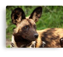 African Painted Wolf  Canvas Print