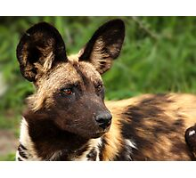 African Painted Wolf  Photographic Print