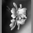 Daisy by MoGeoPhoto