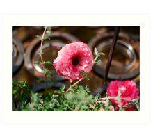 Pink Ranunculus Flower - Los Angeles, California Art Print
