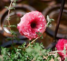 Pink Ranunculus Flower - Los Angeles, California by April Rocha