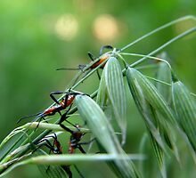 Assassin Bug Nymphs on Oats by May Lattanzio