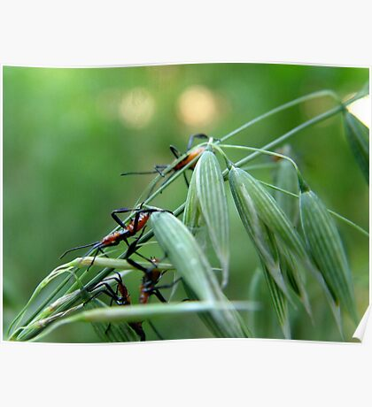 Assassin Bug Nymphs on Oats Poster