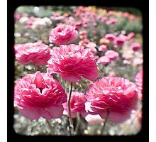 Pink Ranunculus  - Los Angeles, California Photographic Print