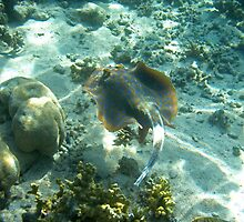 Blue Spotted Lagoon Ray - Ningaloo Reef, Australia by James Farnan
