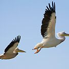 Flying Pelicans by kevomanno