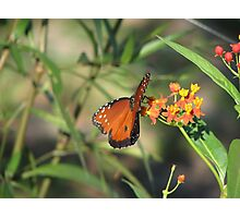 Queen monarch butterfly Photographic Print
