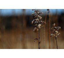 Dried Goldenrod Photographic Print