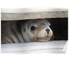 Playful Pup- Seal Bay, Kangaroo Island Poster