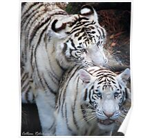 White Bangle Tigers Poster