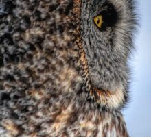 Contemplation - Great Grey Owl Sticker