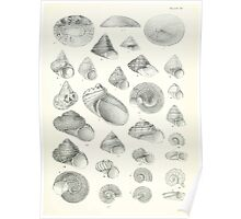 Manual of the New Zealand Mollusca by Henry Sutter 1915 0141 Liotella Liotia Monilea Moraea Odontia Poster
