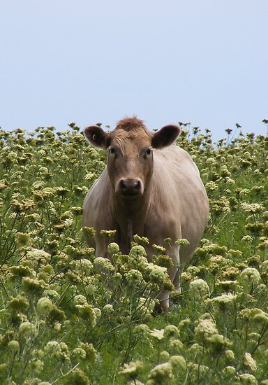 Sweet Cow.  by Esther's Art and Photography
