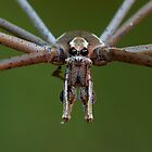 Net-casting spider by Steve Axford