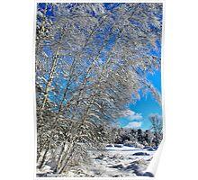 Ice Laden Birches Poster