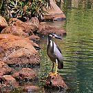 Black-crowned Night Heron 2 by Teresa Zieba