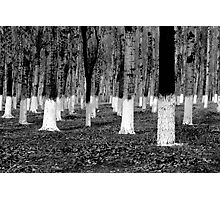 Whitefoot trees Photographic Print