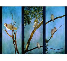 Corellas at Hepburn Srings  Photographic Print
