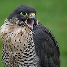 Peregrine Falcon by Franco De Luca Calce