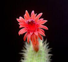 RED CACTUS FLOWER by William Vazquez
