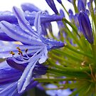 Purple explosion by Melina Roberts
