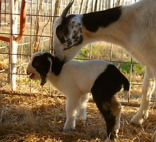 New Life on the Farm (Baby Boer) by BellaStarr