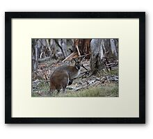 Wallaby on the Yankee Hut trail Framed Print