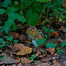 Chipmunk by Chuck Zacharias