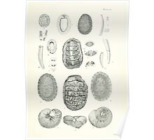 Manual of the New Zealand Mollusca by Henry Sutter 1915 0137 Cadulus Dentalium Onchidella Paryphanta lignaria Poster