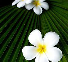 White frangipanis by JennyLee