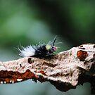 Red Head Caterpillar - Bwindi Impenatrable National Park , Uganda by Derek McMorrine