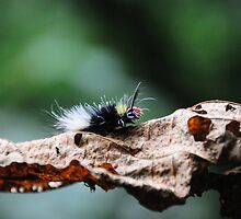 Red Head Caterpillar - Bwindi Impenatrable National Park , Uganda by Derek McMorrine