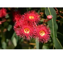 Summer Red eucalypt flowers Photographic Print