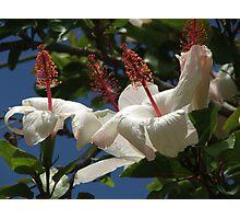 Hibiscus (4763) Photographic Print