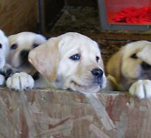 6 golden lab pups by JBTHEMILKER