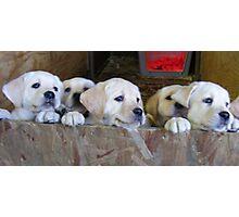 6 golden lab pups Photographic Print