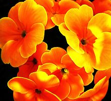 The Orange Primroses by Stephen Walton