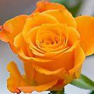 Yellow Rose by Nala