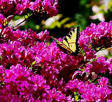 Tiger Swallowtail on Azalea by Susan Savad