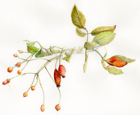 Autumn, rosehips and berries in watercolour by Leyh