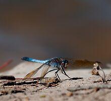 Dragonfly by margotk
