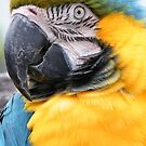 Blue and Gold Macaw by ElsT