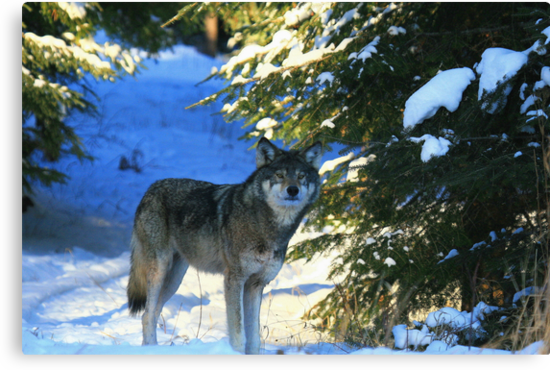 """""""  Timber Wolf in the Wild  """" by fortner"""