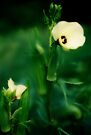 Firstfruits of Okra, and Blooms by NatureGreeting Cards ©ccwri