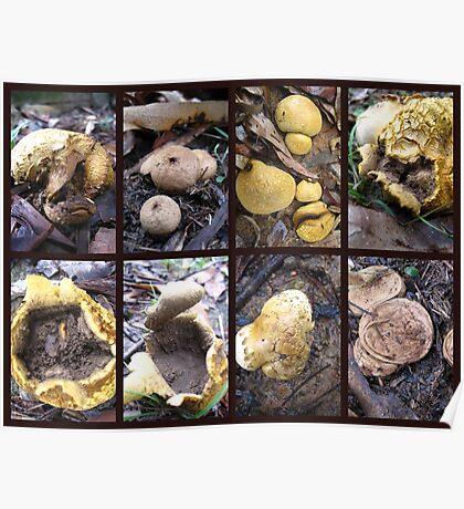 Puffball Fungi Poster