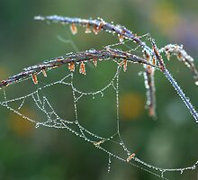 Dew Covered Web on Big Blue Stem by Rick Stockwell