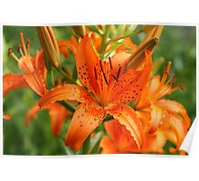 Spotted Lilies Poster