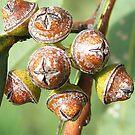 Gumnuts by pedroski