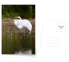 The great Egret Postcards