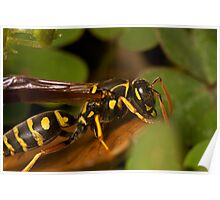 European Paper Wasp Poster